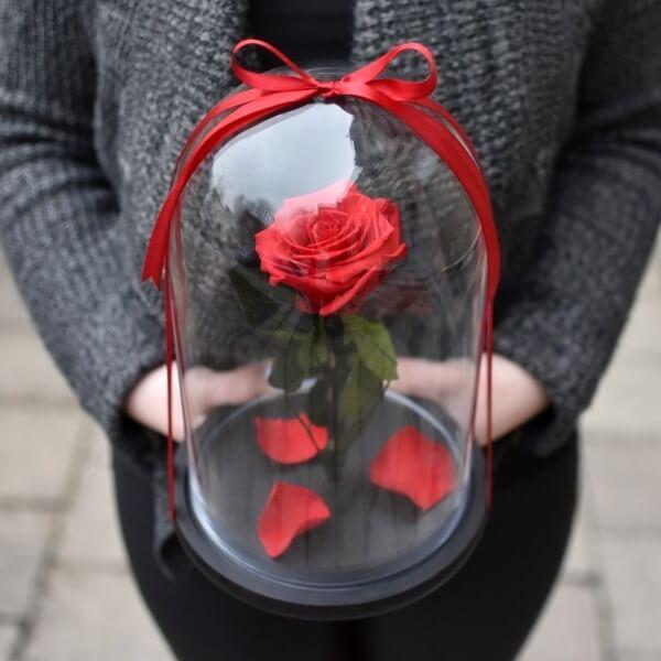 Stabilizuota raudona rožė po kupolu