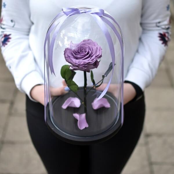 Alyvinė stabilizuota rožė po kupolu
