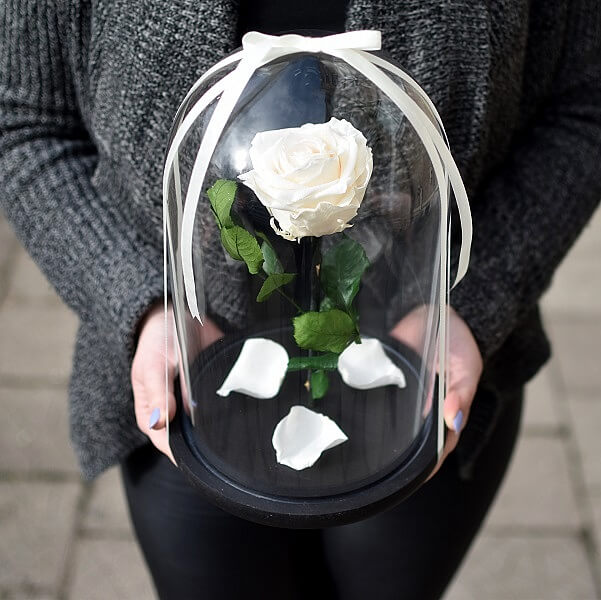 Kreminė stabilizuota rožė po stikliniu gaubtu