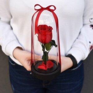 Mieganti raudona rožė po stiklu