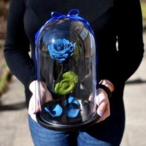 Mieganti mėlyna rožė po gaubtu