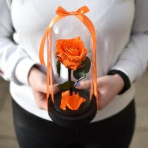 Oranžinės stabilizuotos rožės po kupolu