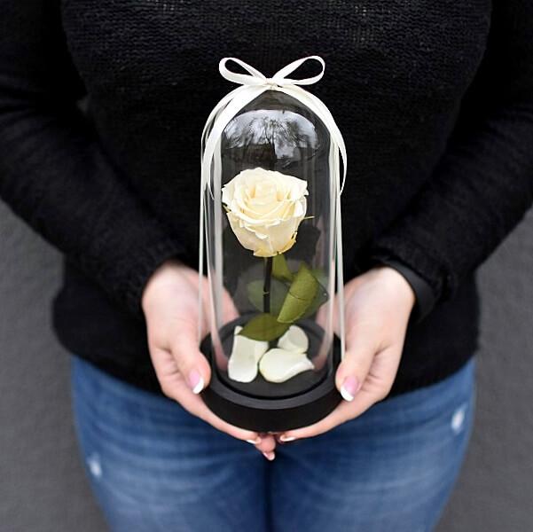 Kreminė maža stabilizuota gėlė po stiklu