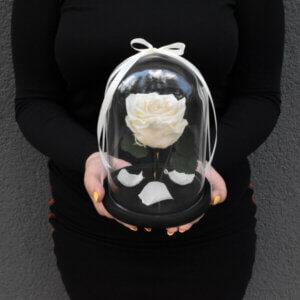 Kreminės spalvos stabilizuota rožė po stiklu