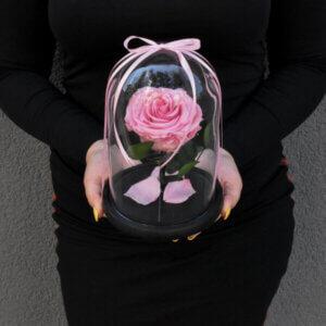 Rožinė stabilizuota rožė po stiklu